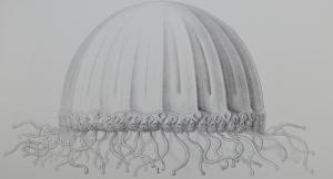 Carybdea murrayana